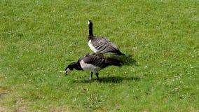 两加拿大在领域的鹅啄绿草在一个晴朗的夏日 股票录像
