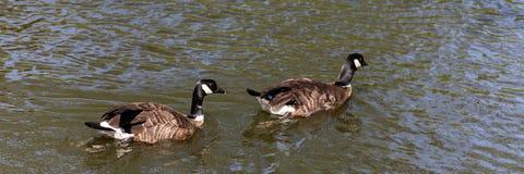 两加拿大鹅黑雁canadensis游泳在水中 库存图片