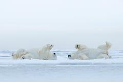 两北极熊说谎在与雪,白色动物的流冰放松在自然栖所,加拿大 库存照片