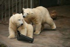 两北极熊崽 免版税库存图片