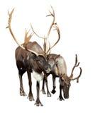 两北美驯鹿 免版税图库摄影