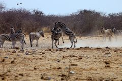 两匹公斑马在埃托沙国家公园 免版税库存图片