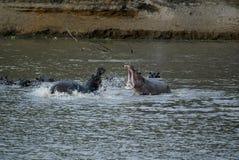 两匹公河马作战,南Luangwa, Zambie 图库摄影