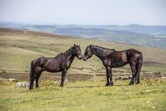 两匹公马在Dartmoor国家公园 免版税图库摄影