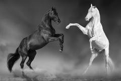 两匹公马战斗 库存照片