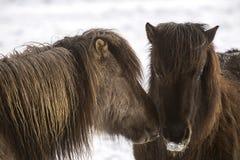 两匹冰岛马冬天 免版税库存图片