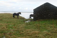 两匹冰岛马和老废墟 免版税库存照片