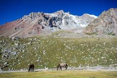 两匹吃草的马在山的晴天 免版税图库摄影