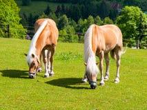 两匹吃草的巴洛米诺马马 库存照片