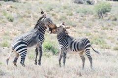 两匹山斑马公马战斗 免版税库存图片