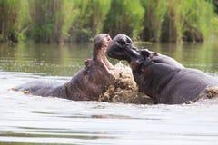 两匹巨大的公河马在水中战斗为最佳的疆土 免版税图库摄影