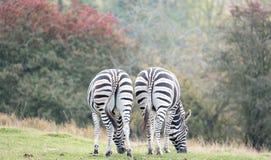 两匹平原斑马背面图,被拍摄在口岸Lympne徒步旅行队公园,阿什富德,肯特英国 免版税库存图片