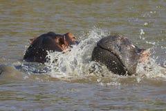 两匹年轻河马使用 免版税库存照片