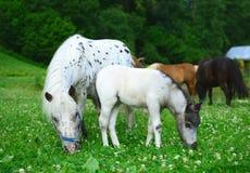 两匹微型马Falabella,母马和驹,在草甸, selec吃草 库存图片