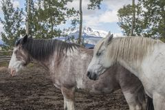 两匹怀俄明大农场马在畜栏 免版税库存照片