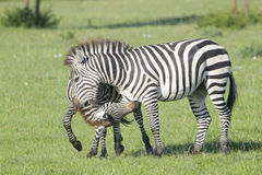 两匹斑马公马战斗 免版税库存照片