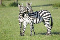 两匹斑马公马战斗 库存照片