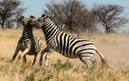 两匹斑马公马战斗 免版税库存图片
