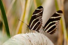 两匹斑马在树枝的Longwing butterfliesw 库存照片