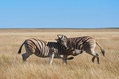两匹斑马在纳米比亚国家公园 库存图片