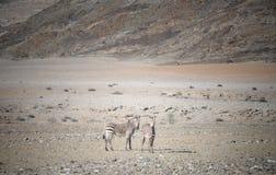 两匹斑马在非洲 免版税库存图片