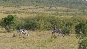 两匹斑马在非洲大草原的丛林吃草 股票录像