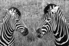 两匹斑马头,拍摄在黑白照片在口岸Lympne徒步旅行队公园,阿什富德,肯特英国 免版税库存照片