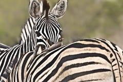 两匹斑马的嫩片刻在灌木,克鲁格国家公园,南非 库存图片