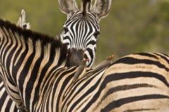 两匹斑马的嫩片刻在灌木,克鲁格国家公园,南非 免版税库存照片