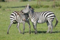 两匹斑马(马属拟斑马)公马战斗 图库摄影