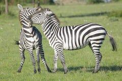 两匹斑马(马属拟斑马)公马战斗 免版税库存照片
