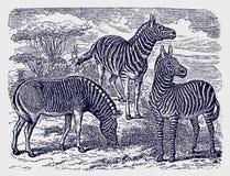两匹斑马(;马属zebra);并且在非洲大草原森林地风景的一个绝种拟斑马身分 向量例证