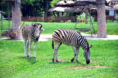 两匹斑马 免版税库存照片