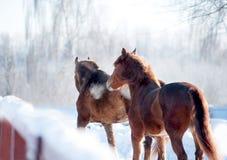 两匹栗子马在冬天小牧场 图库摄影
