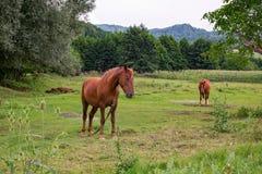 两匹棕色马吃草草 库存图片