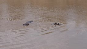 两匹河马下潜和游泳在泥泞的河玛拉,非洲储备4K 影视素材