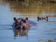 两匹河马在与非常突出仅的头的水中几乎完全地淹没了,徒步旅行队,在Moremi NP,博茨瓦纳 免版税库存图片