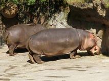 两匹河马在阳光下 免版税库存照片