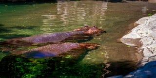 两匹河马在水中 免版税库存照片