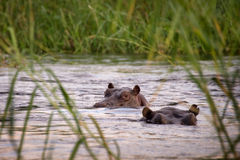 两匹河马在Zambeze河 库存图片