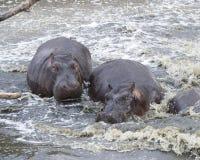 两匹河马特写镜头在水中部分地淹没了 免版税库存照片