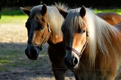两匹浅褐色的马在一个农场附近的封入物根据9月太阳,额尔德庄园 免版税图库摄影