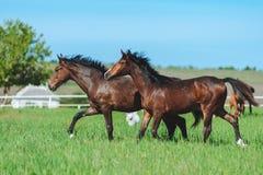 两匹海湾马在牧群疾驰在旁边在草甸 库存照片