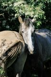 两匹灰色马站立肩并肩在树的绿色冠下 库存照片