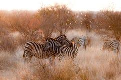 两匹爱恋的斑马 免版税库存图片