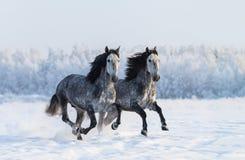 两匹疾驰的起斑纹灰色纯血统西班牙马 免版税库存图片