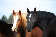 两匹美丽的马画象在秋天 库存图片