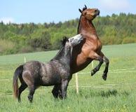 两匹美好马战斗 免版税图库摄影