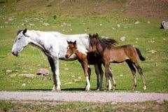 两匹逗人喜爱的马驹和他们的母亲 图库摄影