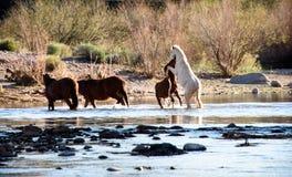 两匹野生公马为附近的野马母马优势作战 免版税库存图片